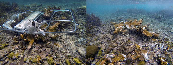 Crushed elkhorn coral with twisted metal (left) and without (right).