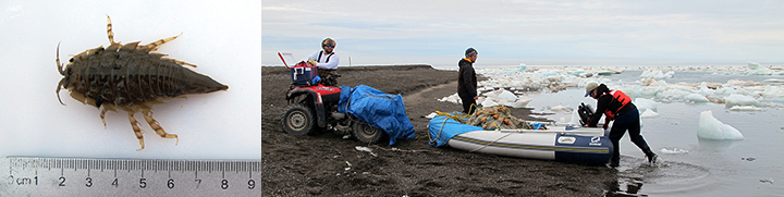 Marine invertebrate  measured next to a ruler and people preparing an inflatable boat on a shoreline with broken sea ice.