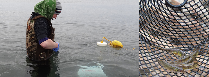 Scientist in chest waders stands in ocean setting up water sampling equipment with a NOAA buoy and small stickleback fish in a fish trap.