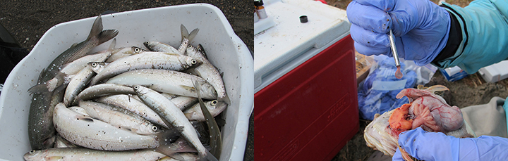 At left, adult fish samples. Right, sampling fish bile from a sculpin.
