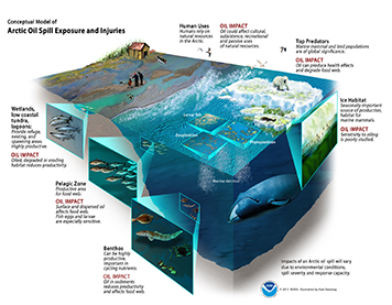 Conceptual model of an Arctic oil spill's impacts on marine food webs.