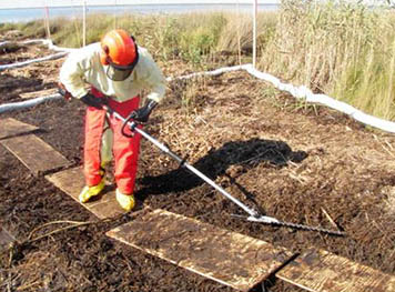 After cleanup workers used the hedge trimmers to cut the oiled vegetation mats (seen here), they would rake aggressively the oiled vegetation and thick oil layer beneath, successfully removing much of the remaining oil along Barataria Bay's test marshes.