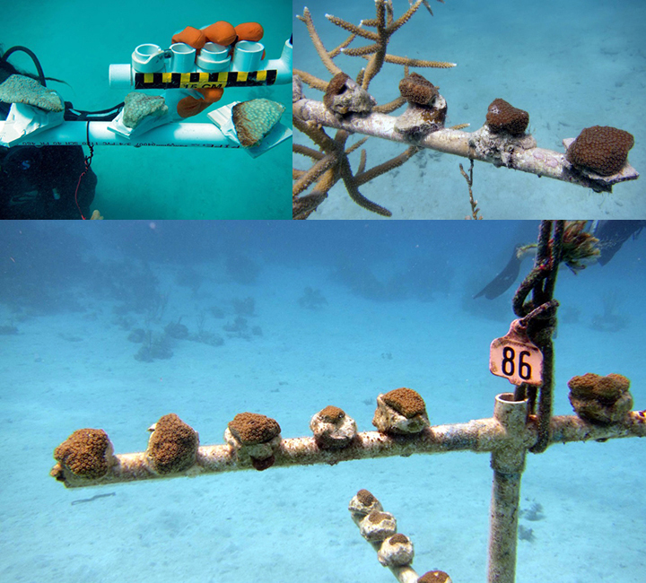 Top left: Bleached coral fragments on PVC pipe with a hand holding a ruler. Top right and bottom: Healthy corals growing on PVC pipes.