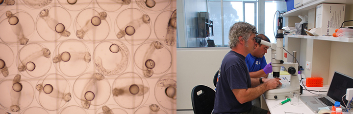 Left, bluefin tuna developing in their eggs. Right, people looking under a microscope in a laboratory.