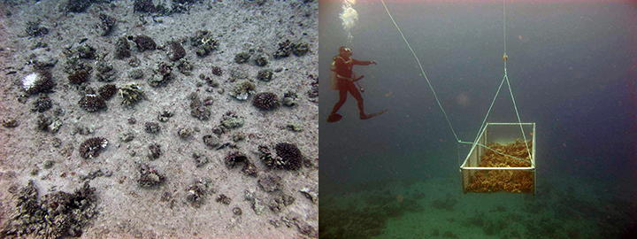 Small loose corals on the seafloor and a diver with a large basket of coral pieces being dragged underwater.