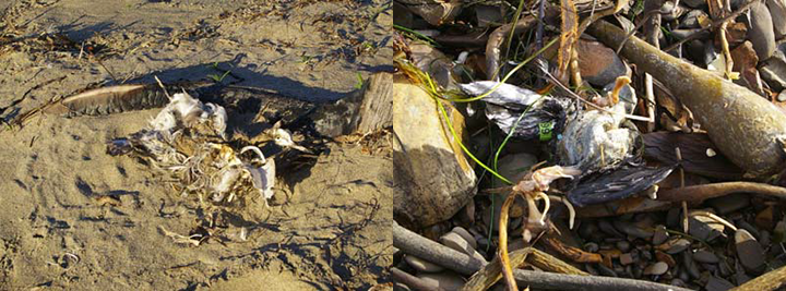 Partial dead bird carcasses on beaches.