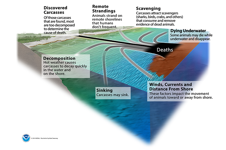 Graphic of oil spill in ocean near coast showing the multiple scenarios for the carcasses of animals killed by an oil spill. They include: Discovered carcasses (Of those carcasses that are found, most are too decomposed to determine the cause of death), remote strandings (Animals strand on remote shorelines that humans don't frequent), scavenging (Carcasses attract scavengers, such as sharks, birds, crabs, and others, that consume and remove evidence of dead animals), dying underwater (Some animals may die while underwater and disappear), decomposition (Hot weather causes carcasses to decay quickly in the water and on the shore), sinking (Carcasses may sink), and winds, currents, and distance from shore (These factors impact the movement of animals toward or away from shore).