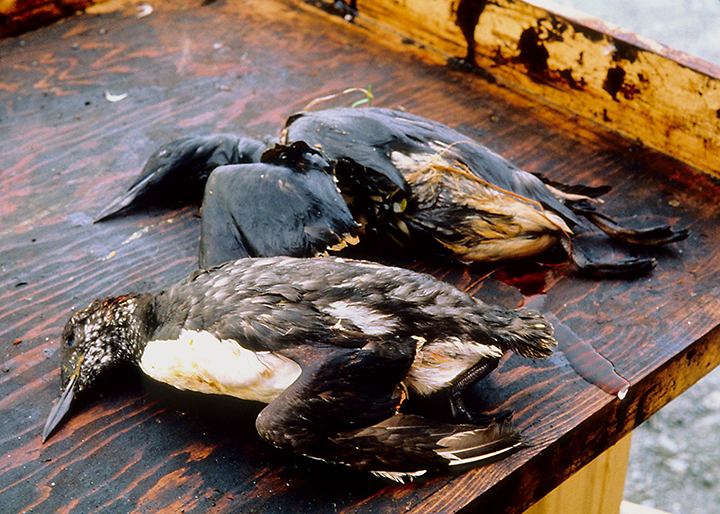 Birds killed as a result of oil from the Exxon Valdez spill.