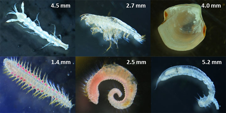 Top row, from left,  two types of crustaceans and a mollusk. Bottom row shows three types of marine worms known as polychaetes.