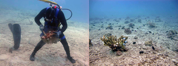 Diver scrubbing a piece of coral and a healthy coral reef with fish.