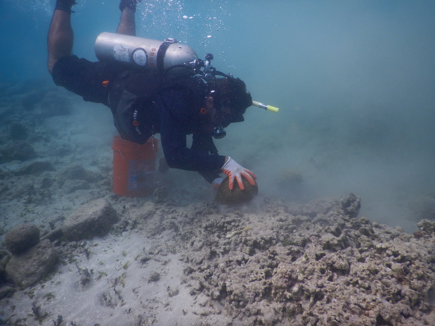 A scuba diver reattaching coral underwater.
