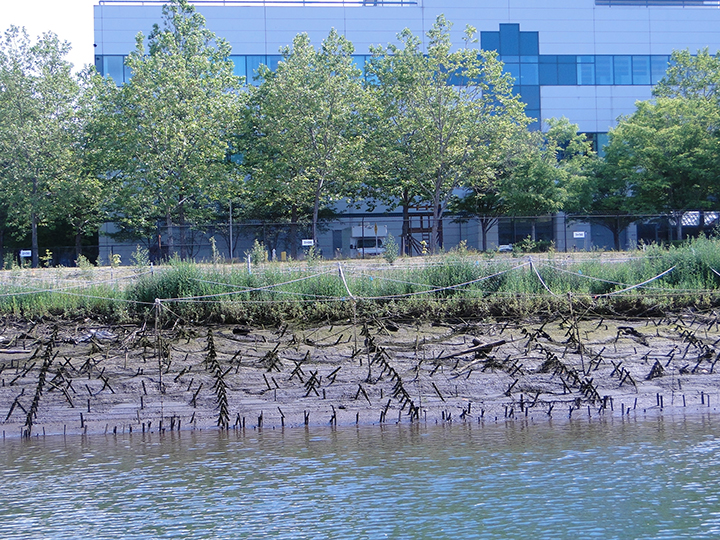 Newly restored marsh and riverbank vegetation with protective ropes and fencing on the Duwamish River.