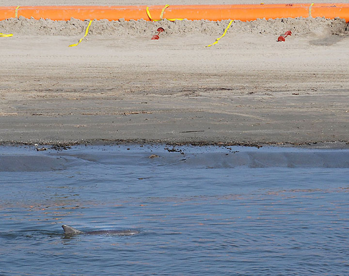 A bottlenose dolphin swims in the shallow waters along a sandy beach with orange oil boom.