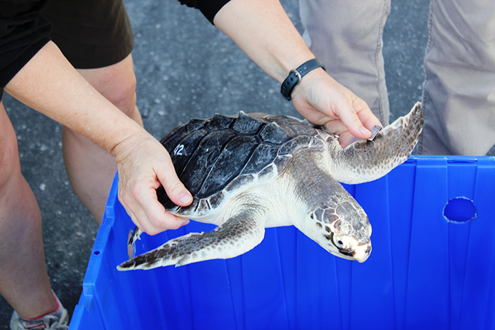 A person holding a small clean Kemp's Ridley sea turtle over a blue bin.