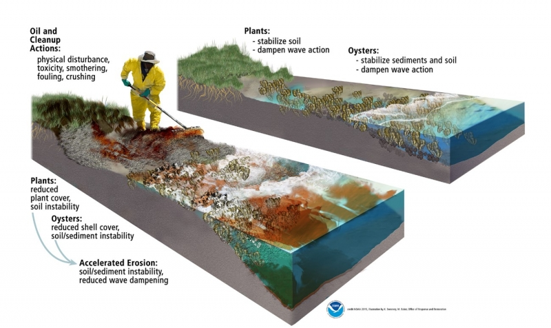 An infographic depicting the clean-up process, highlighting areas such as the plants and oysters.