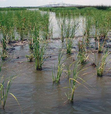 marsh sea grass