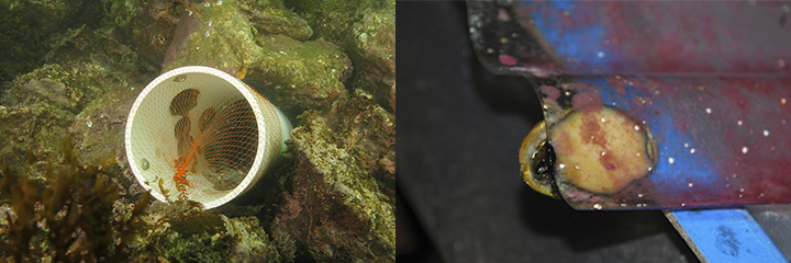 Left, PVC tube filled with green abalone lodged into the rocky seafloor. Right, a small green abalone eats red algae stuck to a plastic rack.