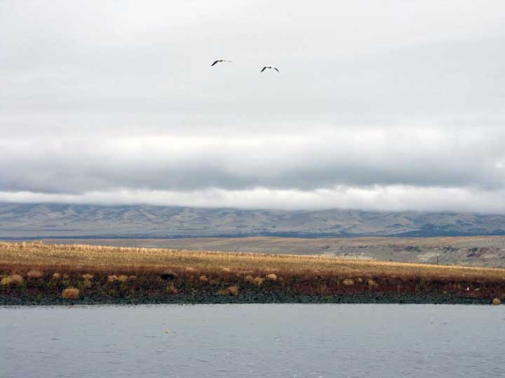 Two American White Pelicans fly over the Columbia River and Hanford's shrubby grasslands.