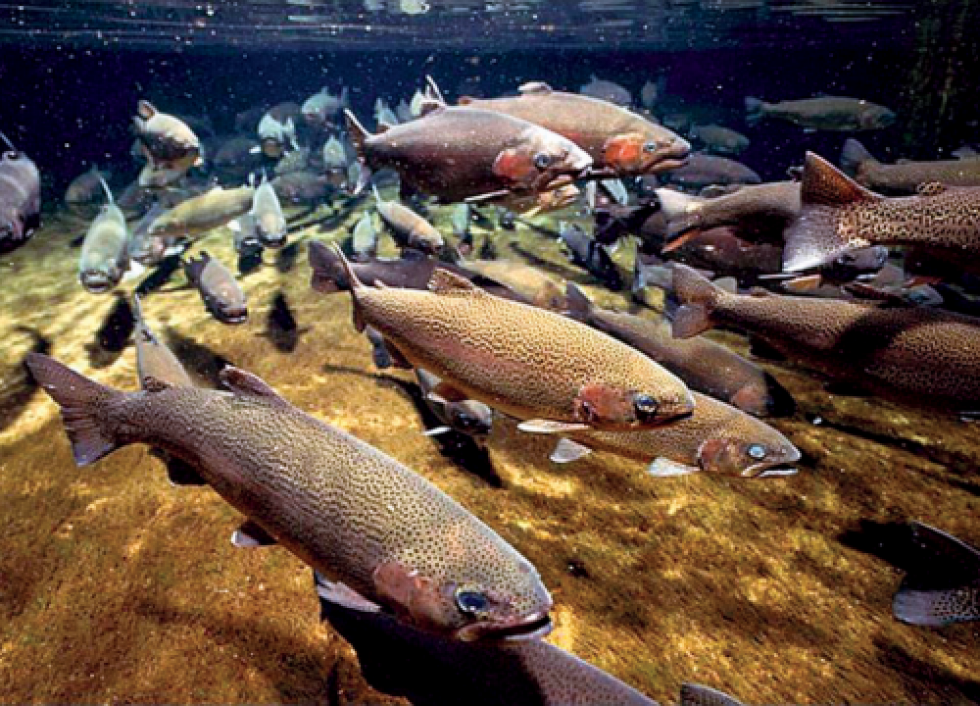 Salmon swimming in a river.