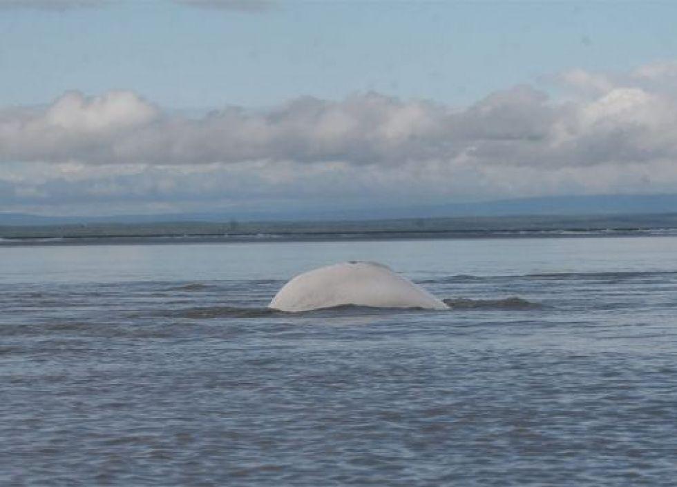 Beluga whale dorsal in ocean.