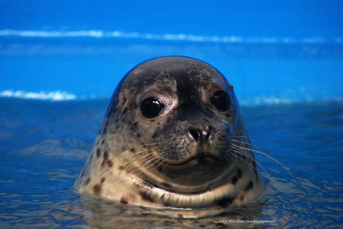 Harbor seal. Image credit: Alaska SeaLife Center.