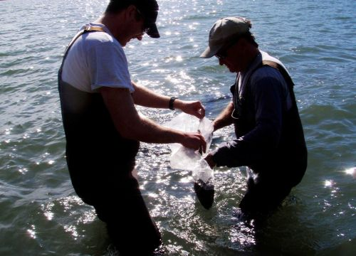 Two men standing knee-high in water holding a plastic sack.