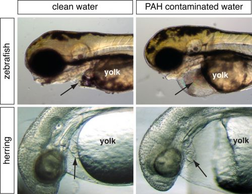 A microscopic view comparing herring and zebra eggs from clean water and herring and zebra eggs from contaminated water.