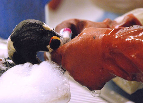 A close-up shot of someone's hands in rubber gloves as they clean a bird.