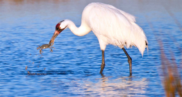 Heron in the water with crab in its beak.