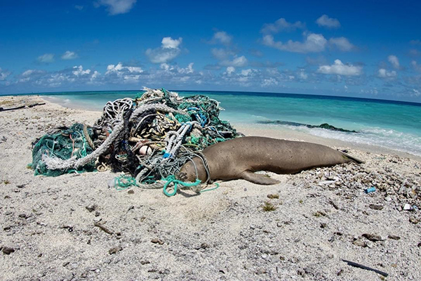 Dead seal tangled in nets.