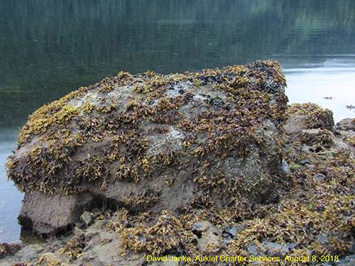 Large rock with organisms growing on it next to a body of water.