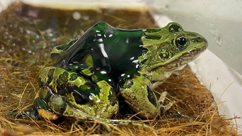Crude oil on a frog.