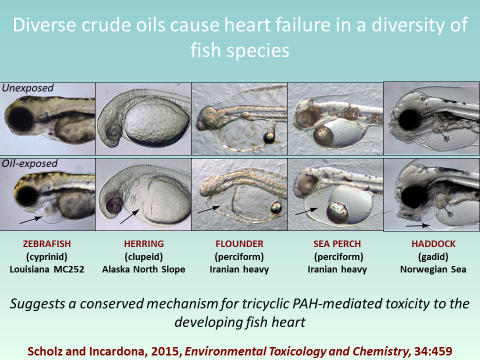 Graphic shows how crude oil causes heart failure in several species.