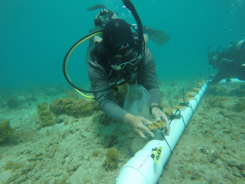A diver adding coral to a coral nursery.
