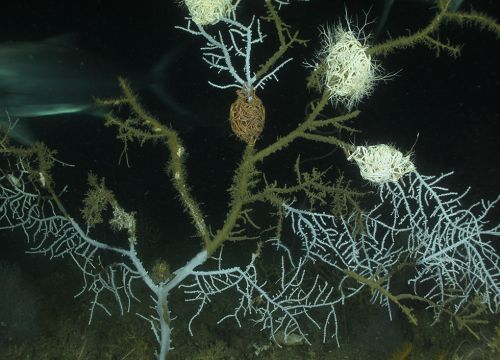 Sick sea fan with discolored branches and hydroids covering it.