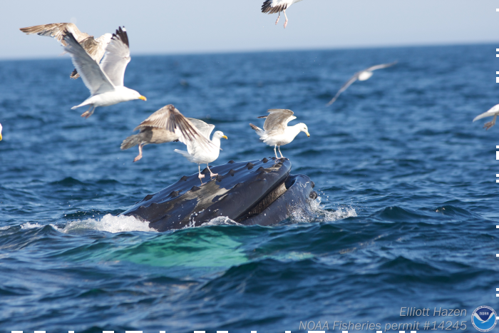 Birds flying around a breaching whale.