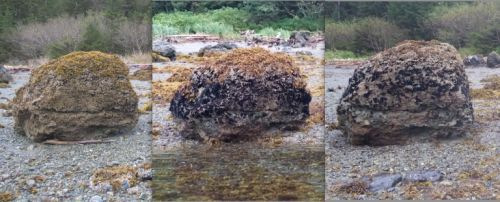 Three images of the same rock with mussels, showing increase.