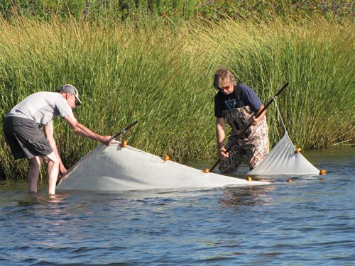Two people holding a seining net in shallow water.