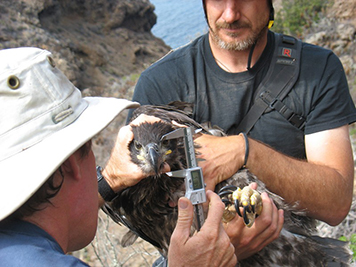 Two men hold a young bald eagle to measure its beak.