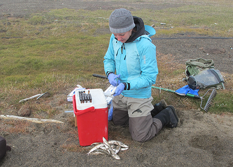 NOAA scientist Dr. Sarah Allan collecting fish bile samples in the Arctic.
