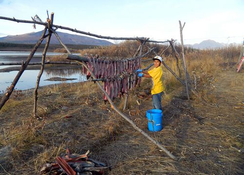 A young boy hangs humpback whitefish on a drying rack next to a river.