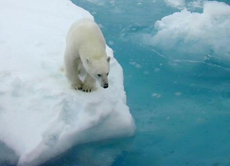 Polar bear on sea ice.