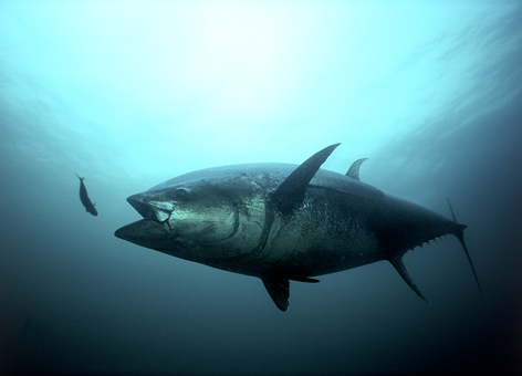 Atlantic bluefin tuna about to swallow a smaller fish.