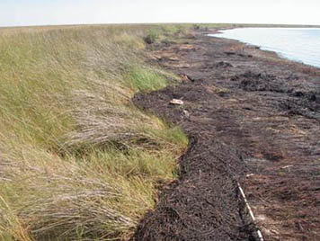 A heavily oiled marsh shoreline in Bay Jimmy, Barataria Bay, Louisiana.