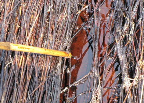 Oil from the Deepwater Horizon spill oozes out from beneath a vegetation mat.