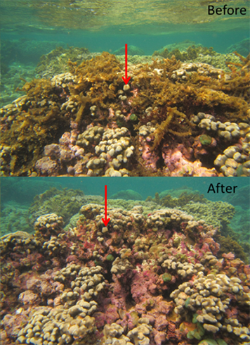 Top, coral reef with invasive algae. Bottom, same reef after algae was removed.