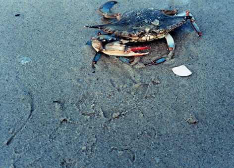 Female blue crab on a beach.