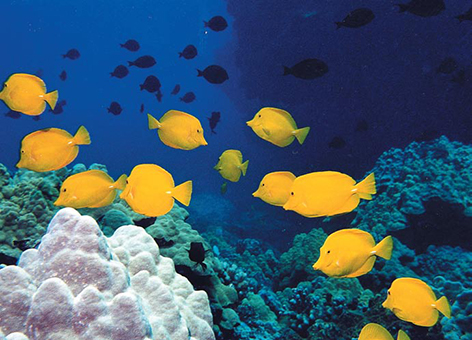 Coral habitat with fish in the Hawaiian Islands.
