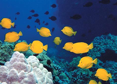 Coral habitat with fish in the Hawaiian Islands.