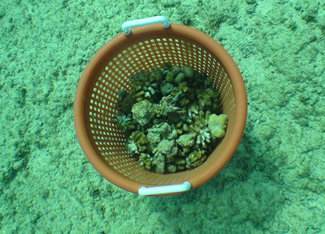 Basket of loose corals collected from the area damaged by the 2010 grounding.